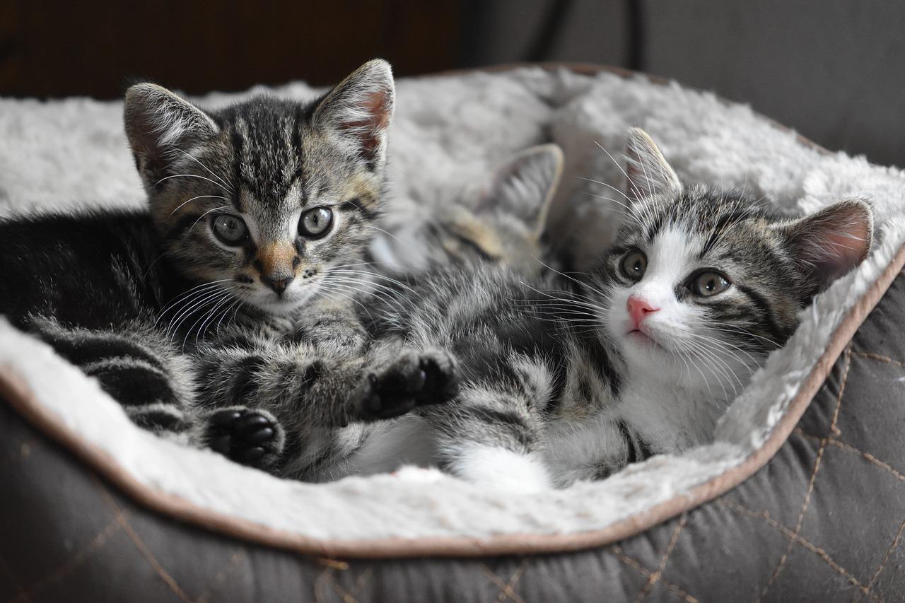 Top 5 des choses à savoir avant d'adopter un chat