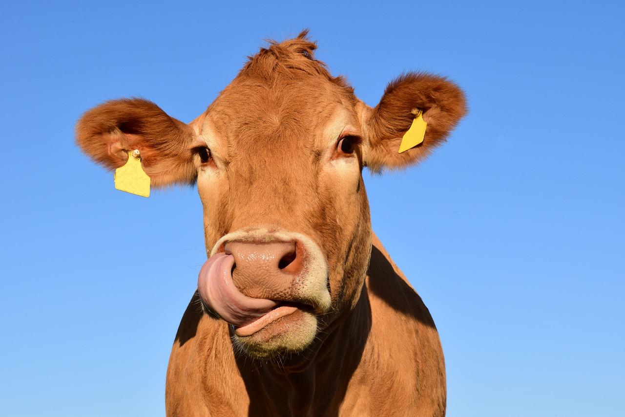 Insolite : Yvonne porte plainte à cause d'une… vache !