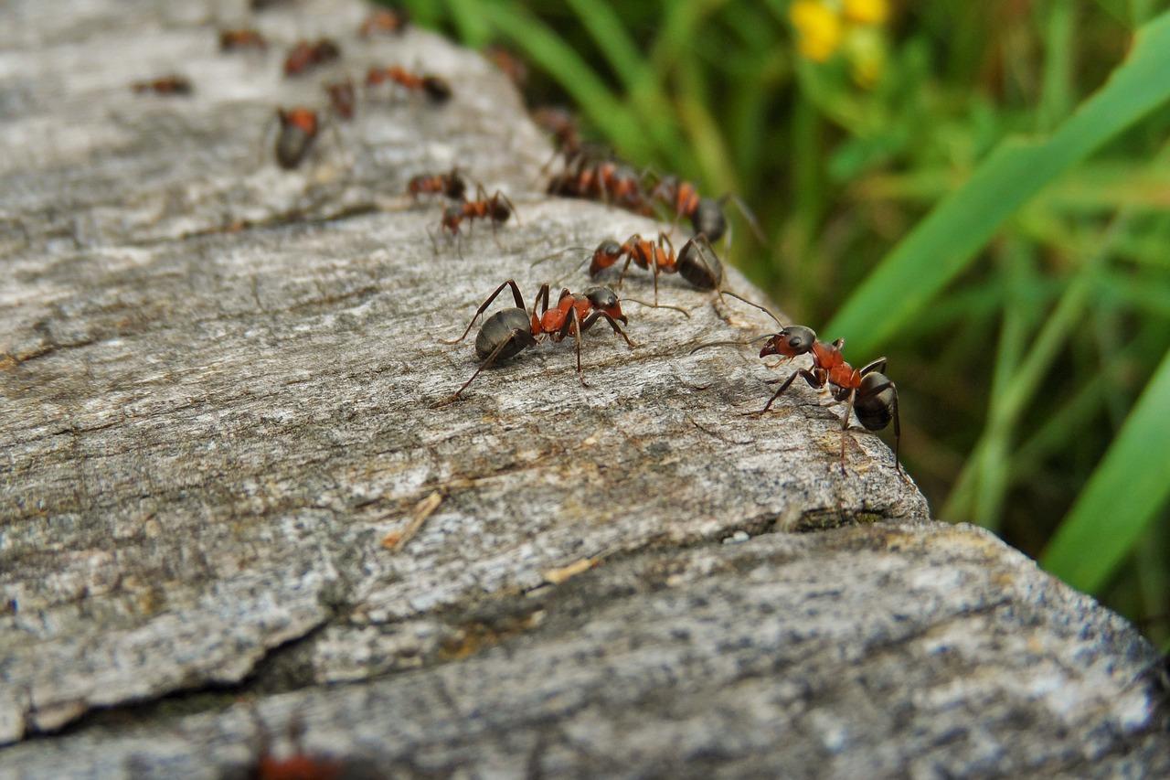 Comment Se Débarrasser Des Fourmis Dans Ma Maison comment éliminer les fourmis de votre jardin ?