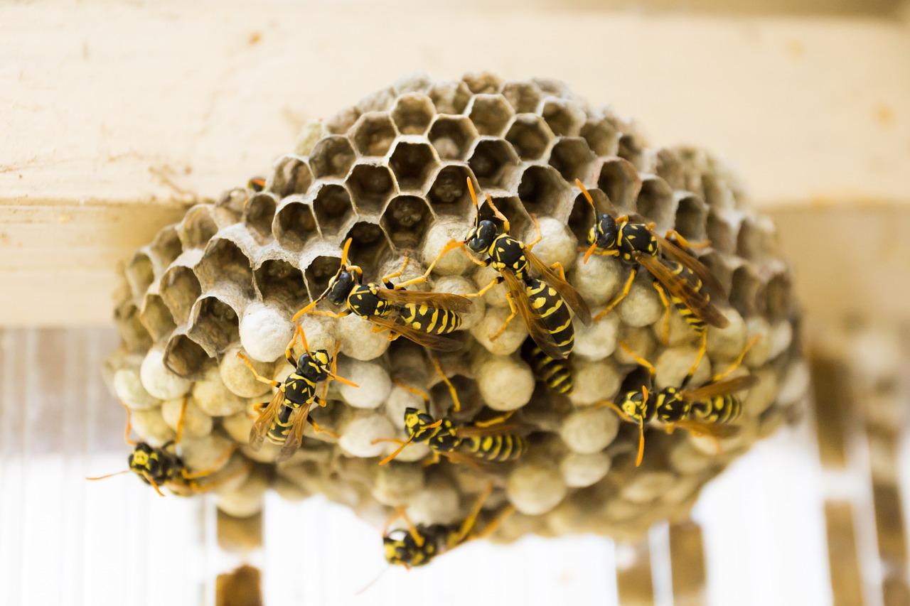 Canicule : Explosion des nids de guêpes !