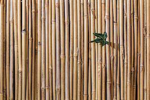 Wat kan je doen als de bamboe van je buren in jouw tuin groeit?