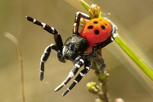 Zeldzame spin veroorzaakt protest tegen grootste zonnepark van Benelux